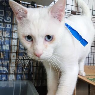 素敵なブルーアイの白猫 シロくん