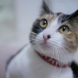 お膝だいすき・三毛猫ちゃん