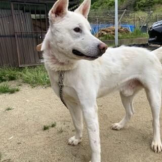 大きめの白い中型犬