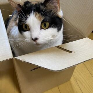 三毛猫マンチカン