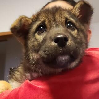 雑種犬♀推定3か月のチビッ子ちゃん①