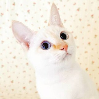 【4/25 東日本橋】沖縄強運美猫♡いちごちゃん