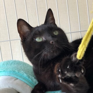 少しぽっちゃりの黒猫の男の子