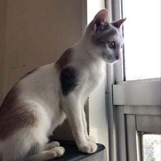 白三毛の美猫の、かぐやちゃん!