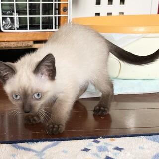 【ルスルス】よく食べよく遊ぶシャム系子猫