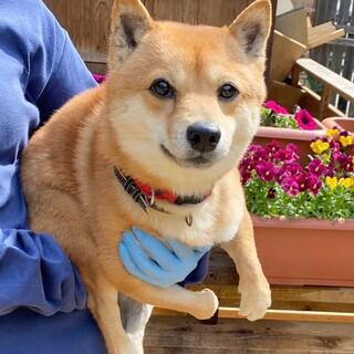 ウルウル瞳が愛らしい柴犬モン吉 2歳