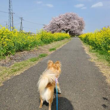 毎年、桜と菜の花を見にこようね!
