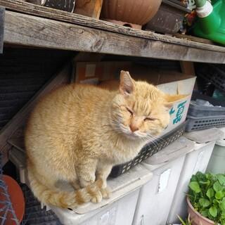 急募 茶トラオス猫