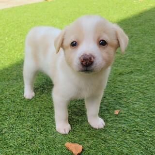 ☆コロコロ可愛い子犬『ななちゃん』女の子☆
