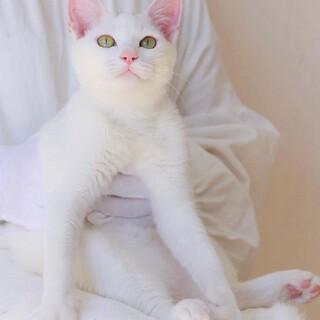 人も猫もみんな大好きな甘えん坊☆かしわくん
