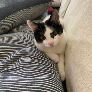 ハチワレ 7か月 子猫