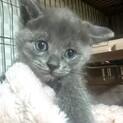 cat-W1007 ロシアンブルー色♪可愛い♪