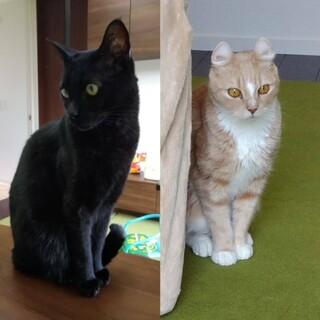 手術済、茶白、黒猫の家族を募集中!!
