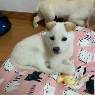 2ヶ月くらいの白い子犬ちゃん男の子