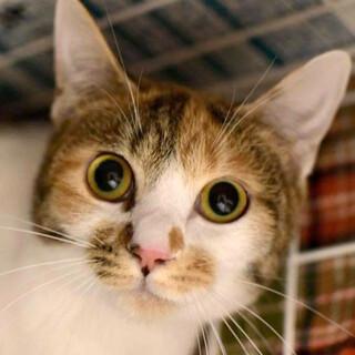ぱっちりお目目が可愛らしい三毛猫「ミルクちゃん」