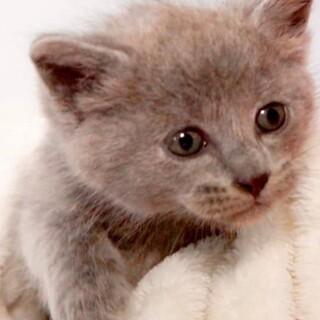 ちっちゃい兄妹赤ちゃん猫、グレーのチビにゃん!