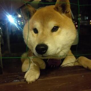 保護犬を迎えませんか?飼育放棄♂柴犬