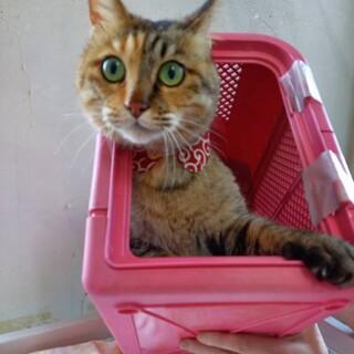 えっ!たぬき?いいえ、猫です!ちび子ちゃん 5才!