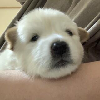 MIXの子犬の女の子タイコちゃん