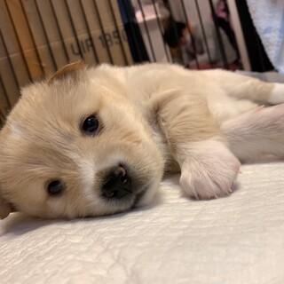MIXの子犬の女の子サザエちゃん