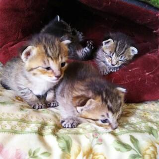 4月14日生まれの子猫ちゃん4匹います♬︎*.:*