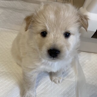 MIXの子犬の女の子フネちゃん