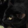 SOS!!人馴れしてます。綺麗な黒猫⭐️きほ サムネイル3