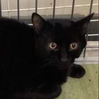 SOS!!人馴れしてます。綺麗な黒猫⭐️まあや