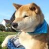 ゆうあちゃん~穏やかなシニア柴犬です~ サムネイル2