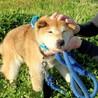 ゆうあちゃん~穏やかなシニア柴犬です~ サムネイル3