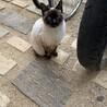 かわいいシャム猫 サムネイル3