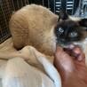 かわいいシャム猫 サムネイル4