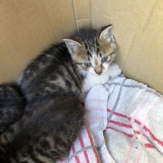 【交渉中】生後2週 キジ白の子猫3匹