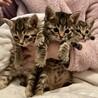超美猫キジトラ3兄妹★生後1ヶ月