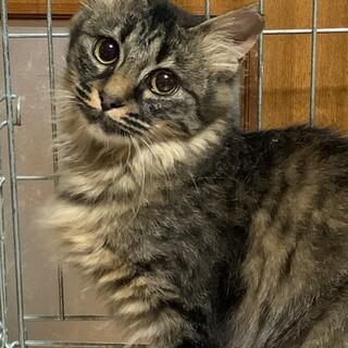 6ヶ月 半長毛キジ猫 おしとやか るりちゃん