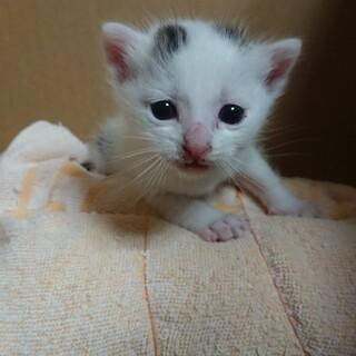 お申し込み有り対応中*生後1ヶ月子猫