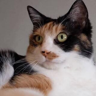 【延岡市】ツンデレ三毛猫ちゃんです。