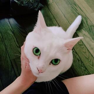 人が大好きな白猫