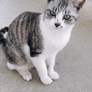 グレーの毛並みの野良猫ちゃんです