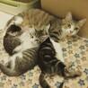【GWお見合可】美猫三兄妹と優しいママ(2匹ずつ)