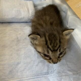 生後1ヶ月程度、保護猫です。