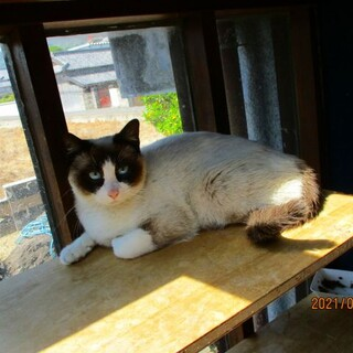 仔猫の時に遺棄された珍しい猫種スノーシュー