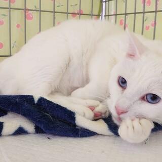 美人さん・白猫・穏やかな女の子・『おからちゃん』