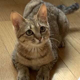 むぎわら猫ほーちゃん1歳メス