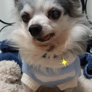 チワワ♂レオン 推定13歳~