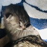 募集中。できたら三匹一緒に。産まれたての可愛い子猫 サムネイル4