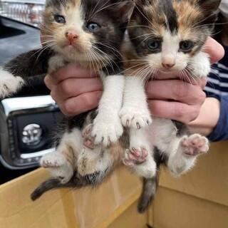 くっきり三毛猫姉妹 いろはとなのは 1ヶ月