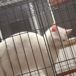 鹿児島から!人懐っこいふわふわ白猫です!