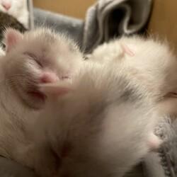 「白猫3きょうだい」サムネイル3