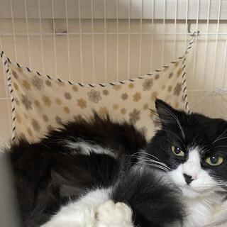保護猫 ミヌエット⁇ 健康な女の子